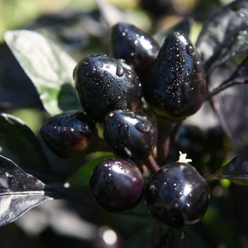 peperoncino black pearl