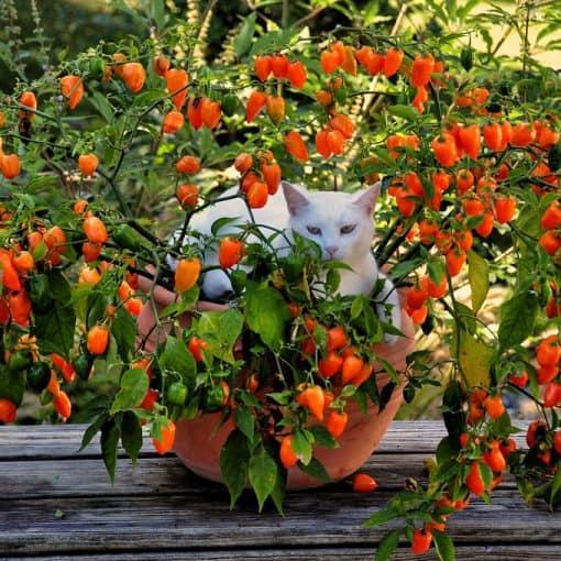 gatto seduto in pianta di peperoncini