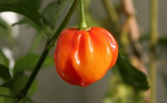 habanero arancione