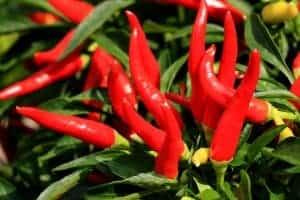 pianta di peperoncino cayenna