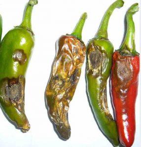 frutti di peperoncino colpiti da antracnosi