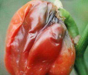 pomodoro colpito da marciume molle batterico