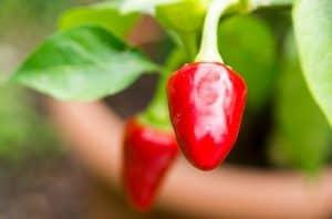 peperoncino-rosso