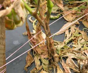 marciume del colletto del peperoncino
