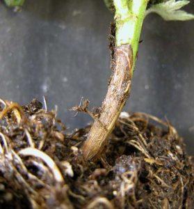 pianta colpita da fungo rhizoctonia solani