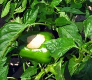 frutto colpito da scottatura solare